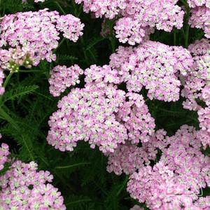 Тысячелистник Achillea Tutti Frutti Wonderful Wampee